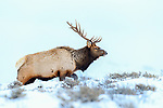Adult male American elk or wapiti (Cervus canadensis). Northern Ranges, Yellowstone, USA. January