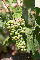 Grape bunch of the local grape variety Shesh. damaged by hail. Cobo winery, Poshnje, Berat. Albania, Balkan, Europe.
