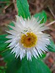 White Paper Daisy-Helichrysum elatum