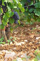 Soil detail. Stony. Sand. Calcareous. Vine leaf. Pinot noir. Rugiens sector. Pommard, Cote de Beaune, d'Or, Burgundy, France