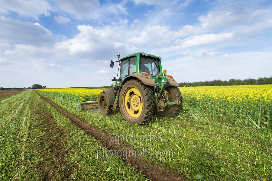 Biofumigant cover crop being chopped prior to incorporation - September, Lincolnshire