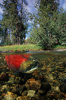 Sockeye salmon, Oncorhynchus nerka, is found in the North Pacific  . They return from the sea to the rivers of their birth to build nests called redds , breed and then die, British Columbia