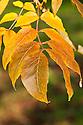 Autumn foliage of Rosehill White Ash (Fraxinus americana 'Rose Hill'), early November.
