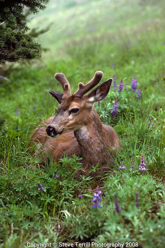 Deer resting in meadow on Hurricane Ridge in Olympic National Park.