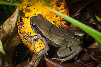 Leaf litter toad (Rhaebo haematiticus), Siquirres, Costa Rica.