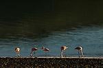 Chilean Flamingo (Phoenicopterus chilensis) flock filter-feeding in saline lake, Amarga Lagoon, Torres del Paine National Park, Patagonia, Chile
