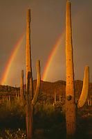 Saguaro cactus and rainbows, Arizona.
