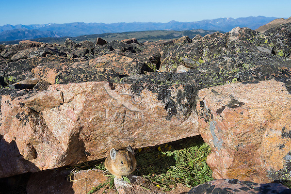 American pika (Ochotona princeps) at one of its haypiles where it is collecting food for winter use.  Beartooth Mountains, Wyoming/Montana.  Summer.  This photo was taken in alpine setting at around 11,000 feet (3350 meters) elevation.  Looking southwest towards a part of the Absaroka Mountain Range.