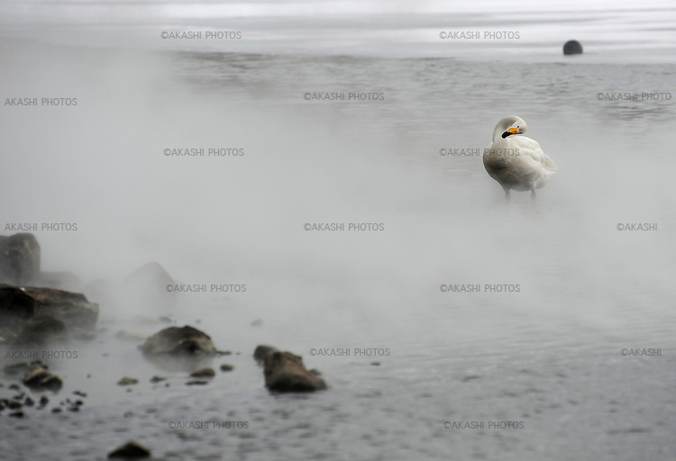 Swans migrate from Russia to Hokkaido and stay in the hot spring area on the shore of Lake Kussharo.<br />
