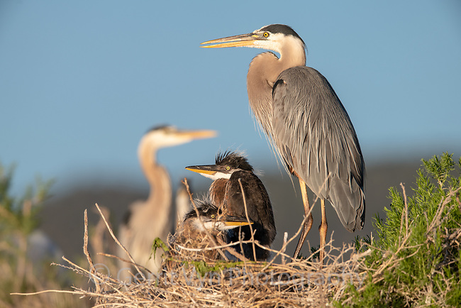 Great Blue Heron (Ardea herodias) adult with chicks at nest. Lake County, Oregon. June.