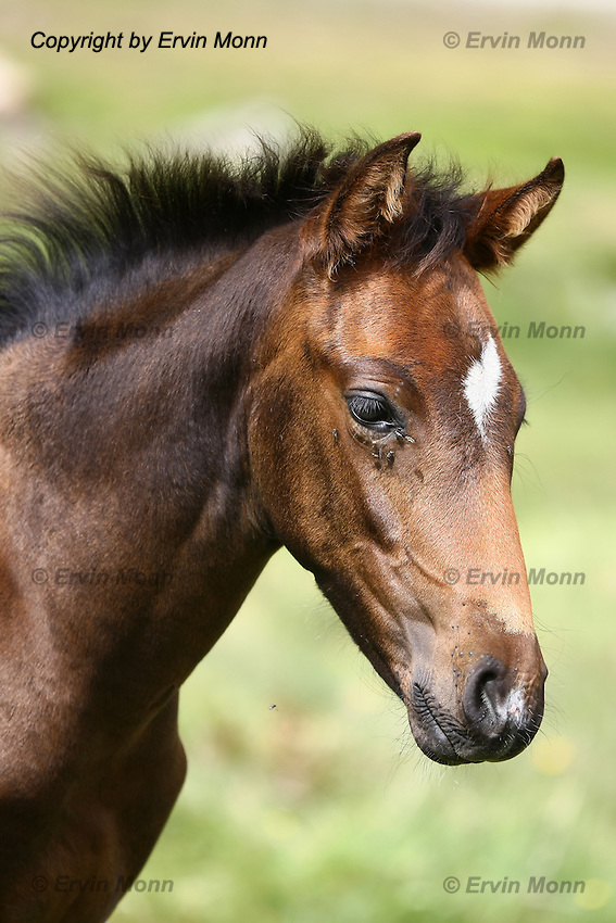 Portrait of a cute brown foal with flies around the eyes in front of a blurred green background