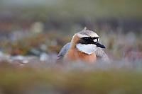 Male Lesser Sand Plover (Charadrius mongolus). Chukotka, Russia. June.