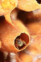 In the nest of the small Tetragonisca Angustula bee.///Dans le nid de petite abeille Tetragonisca Angustula.