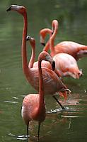 CALI-COLOMBIA-21-06-2006. Los fenicopteriformes (Phoenicopteriformes), los cuales reciben el nombre vulgar de flamencos, son un orden de aves neognatas. The fenicopteriformes (Phoenicopteriformes), which are the common name of flamingos, are an order of birds neognatas. Photo: VizzorImage/Luis Ramirez / Staff