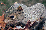 3 week old Eastern gray squirrel pup in nest.