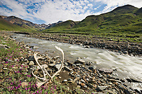Bull caribou antlers near a mountain stream, dwarf fireweed, Denali National Park, Interior, Alaska.