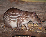 Female Lowland Paca (Cuniculus paca) feeding on forest floor at night (probably lactating). Deciduous forest, northern Pantanal.