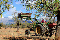 SPAIN Mallorca, Binissalem, Finca Biniagual, almond trees, John Deere tractor with almond trashing machine / SPANIEN Mallorca, Binissalem, Finca Biniagual, Mandelbaeume, John Deere Traktor mit Maschine zur Reinigung der Mandeln