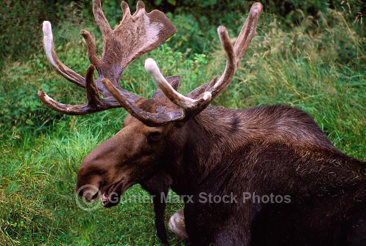 Bull Moose (Alces americana) resting in Grass, Northern British Columbia, Canada