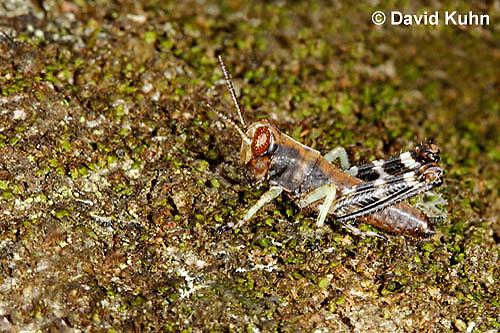 "1226-0901  Pine Tree Spur Throat Grasshopper Nymph, Melanoplus punctulatus ""Virginia""  © David Kuhn/Dwight Kuhn Photography"