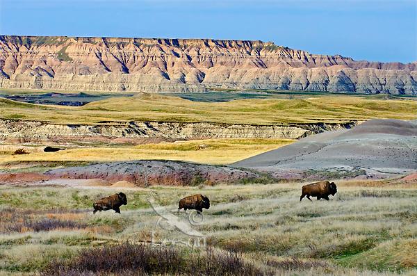 Three American Bison bulls (Bison bison) roaming the Sage Creek Wilderness in Badlands National Park, South Dakota. Spring.