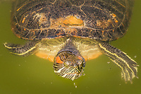 A red eared slider swimming in a Japanese Garden koi pond, its eyes and nose just clearing the waterline where it's blowing bubbles with its mouth.