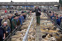 Selling lambs at Oswestry Livestock Market, Shropshire....Copyright John Eveson 01995 61280..j.r.eveson@btinternet.com