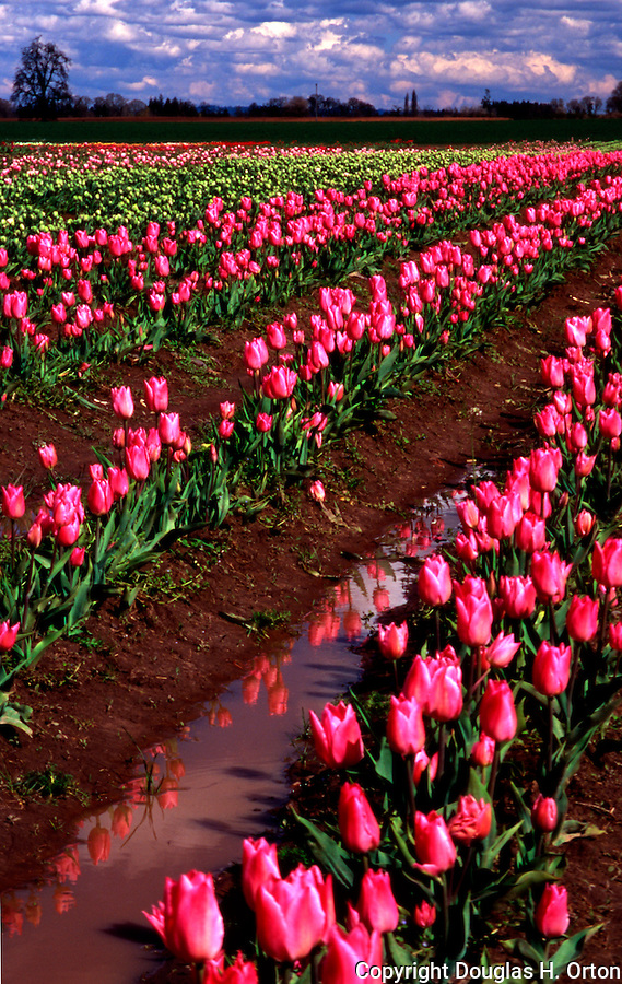 Bulb Farm, Tulips, Willamette Valley, , Woodburn, Oregon