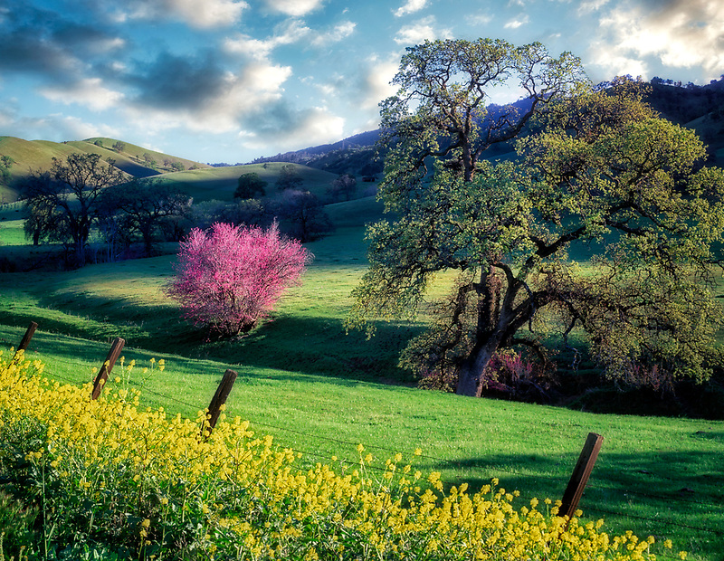 Pasture with purple Rosebud and oak tree. Near Williams, California