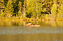 A female Moose finds breakfast and relief from biting insects in Sandy Stream Pond, Baxter State Park ME