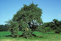 AT12-002b  Apple Tree - developing fruit in summer