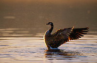 Canada Geese flapping water off wings at sunrise. British Columbia. Canada. (Branta canadensis).