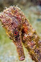 Longsnout seahorse, Hippocampus reidi, note eye, St. Lucia, Caribbean, Atlantic