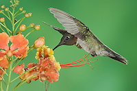 Ruby-throated Hummingbird, Archilochus colubris, male in flight feeding on Red Bird Of Paradise (Caesalpinia pulcherrima), Willacy County, Rio Grande Valley, Texas, USA