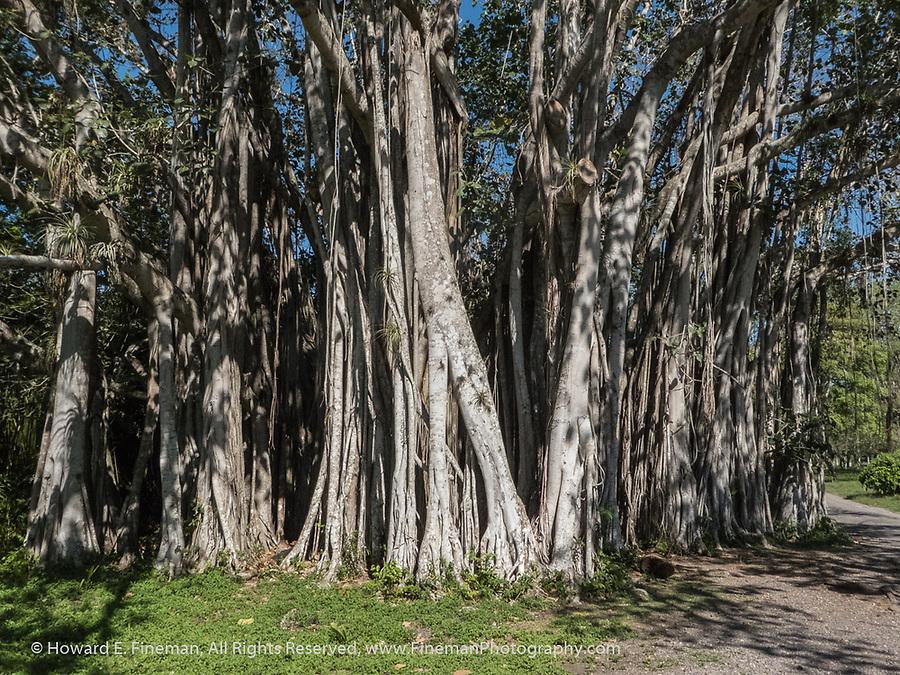 Banyon or Ficus tree in Cienfuegos Botanical Garden