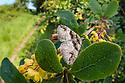 Barberry Carpet Moth (Pareulype berberata) on Barberry (Berberis vulgaris), wide angle habitat view showing hedgerow of Barberry.