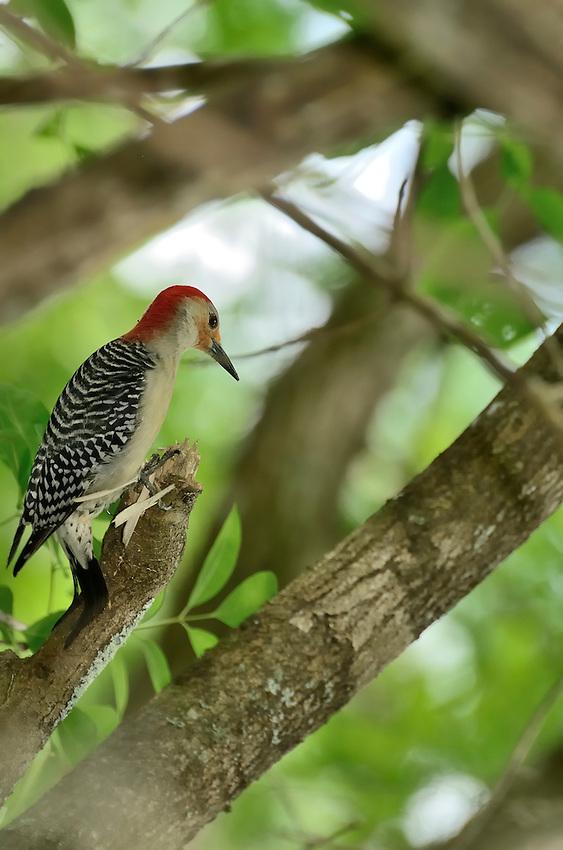 Male Red-bellied Woodpecker in Corkscrew Swamp near Naples, Florida