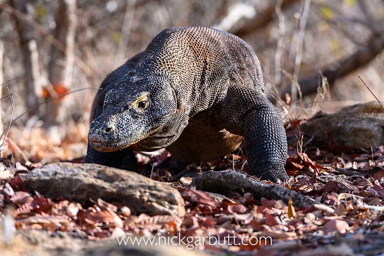 Large male Komodo dragon or Komodo monitor (Varanus komodoensis). Rinca Island, Komodo National Park, Indonesia. Endangered.