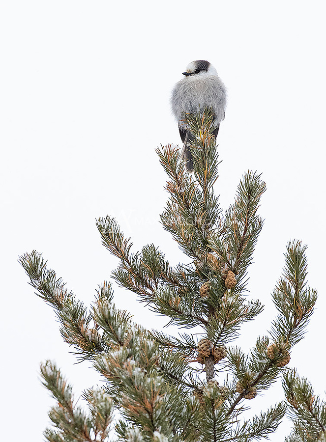 We saw a couple of Canada (formerly Grey) Jays during our visit to Riding Mountain.