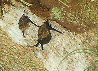 Greater Sac-winged Bats, Saccopteryx bilineata, hanging from a tree in Carara National Park, Costa Rica