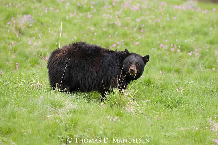 Black bear grazing in Yellowstone National Park, Wyoming.