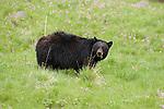 Black bear grazing in Yellowstone National Park, Wyoming.