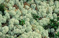 Sternförmige Rentierflechte, Rentierflechte, Rentier-Flechte, Alpen-Rentierflechte, Cladonia stellaris, cup lichen, reindeer lichen, silver moss