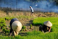 LAOS, Vang Vieng, paddy fields infront of limestone mountains , women replant rice plants