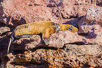 California sea lion, Zalophus californianus, with fishing net around its neck at Los Islotes, Baja California, Mexico, Pacific Ocean