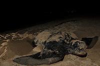 Endangered Leatherback Turtle taking a breath.nesting at Sandy Point Wildlife  Refuge.St Croix, U.S. Virgin Islands