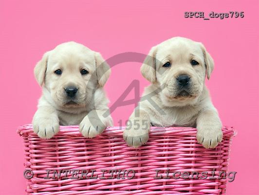 Xavier, ANIMALS, dogs, photos, SPCHdogs796,#A# Hunde, perros
