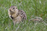 Thirteen-lined Ground Squirrel sitting on the ground
