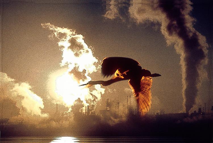 Great blue heron and oil refinery, Anacortes, Puget Sound, Washington State. Pacific Northwest, West Coast, USA,  Ardea herodius..