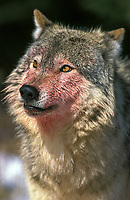 northwestern wolf, Canis lupus occidentalis, adult, covered with blood after meal, Canada